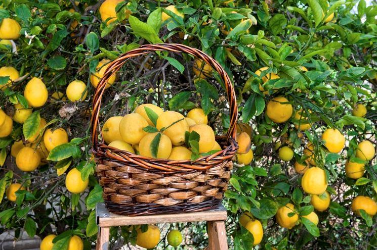 limone raccolta