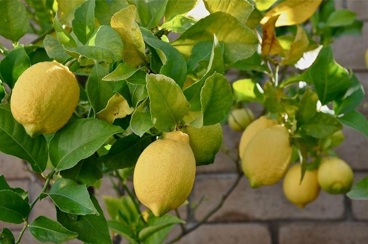 Limone citrus limon agrumi caratteristiche del limone for Pianta di limone