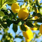 parassiti limone