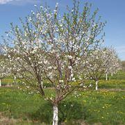 Dalla a alla z tutte le piante da frutto for Piante da frutto che resistono al freddo