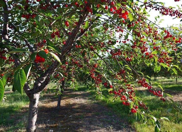 Amarene piante da frutto coltivare amareno for Piante da frutto a radice scossa