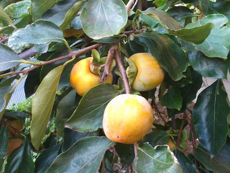 Cachi mela maturazione