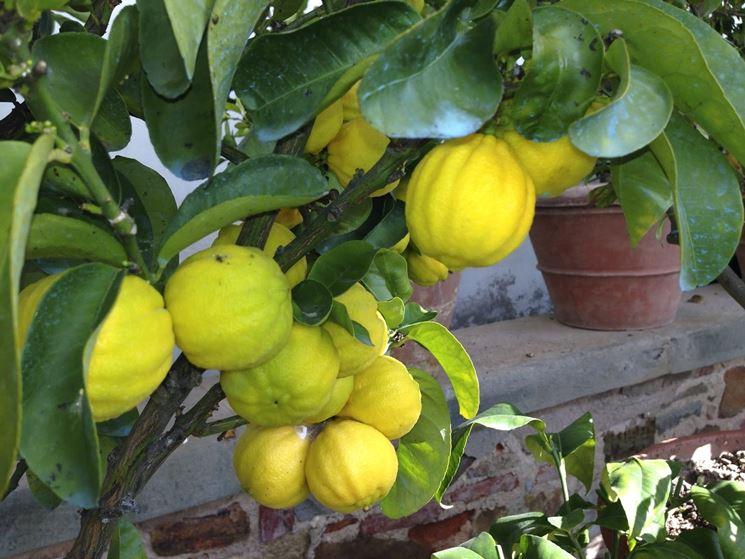 Cedri frutto