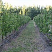 Sistema irrigazione colture Ciliegio