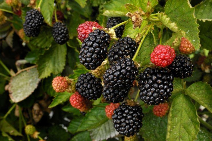 coltivazione frutti di bosco piante da frutto come
