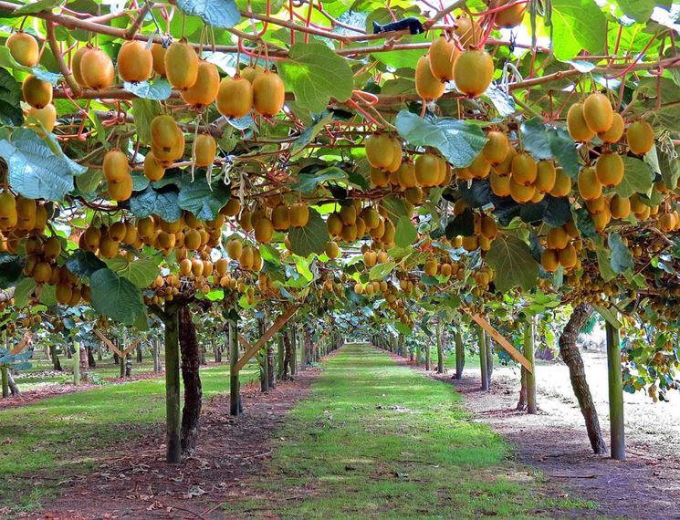 Coltivazione kiwi piante da frutto come coltivare i kiwi for Albero di kiwi