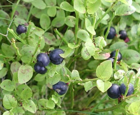 Coltivazione piccoli frutti piante da frutto for Piccoli alberi da frutto