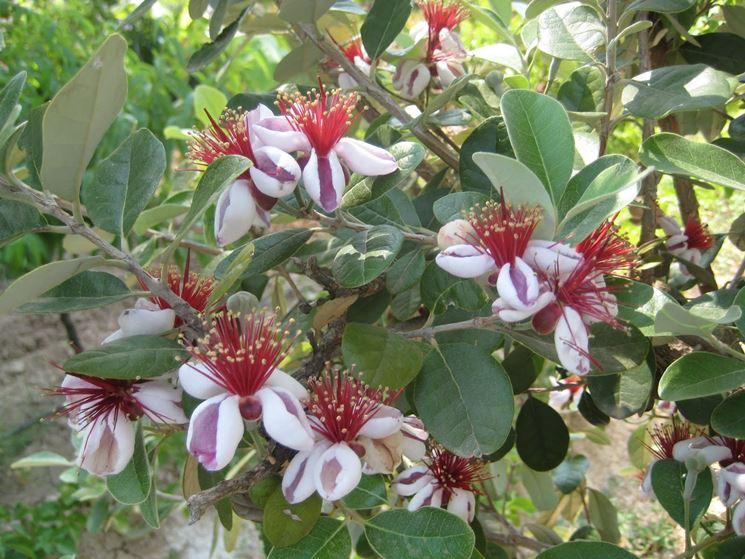 Feijoa piante da frutto pianta feijoa for Piante da frutto che resistono al freddo