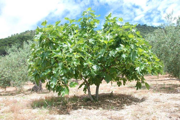 fico piante da frutto caratteristiche del fico