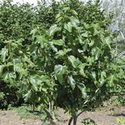 Fico piante da frutto caratteristiche del fico for Albero da frutto nano