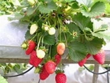 Fragole piante da frutto caratteristiche delle fragole for Piante da frutto che resistono al freddo