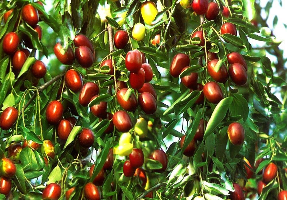 giuggiole frutto