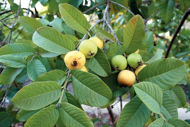 Guava piante da frutto come coltivare la pianta di guava for Pianta feijoa