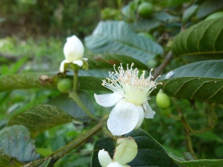 guava fiore