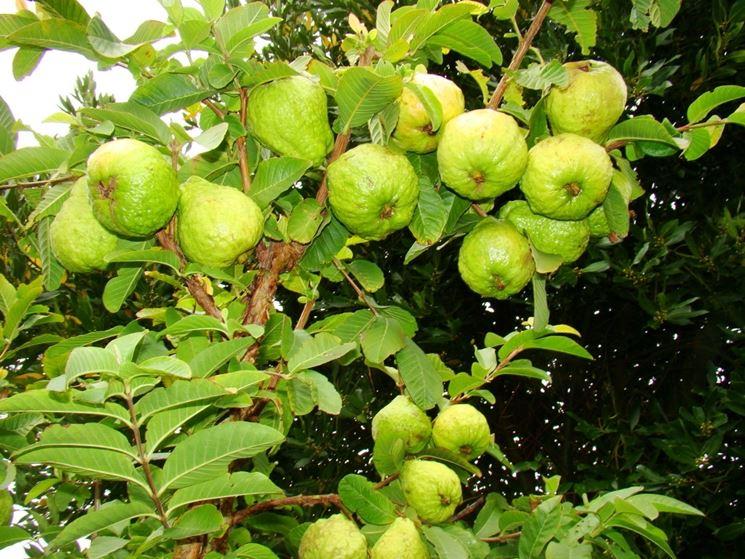 Pianta di Guava con frutti