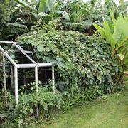 Pianta di kiwi su traliccio