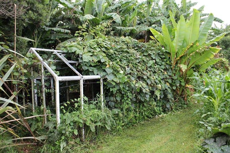 Kiwi coltivazione piante da frutto coltivare kiwi for Pianta kiwi prezzo