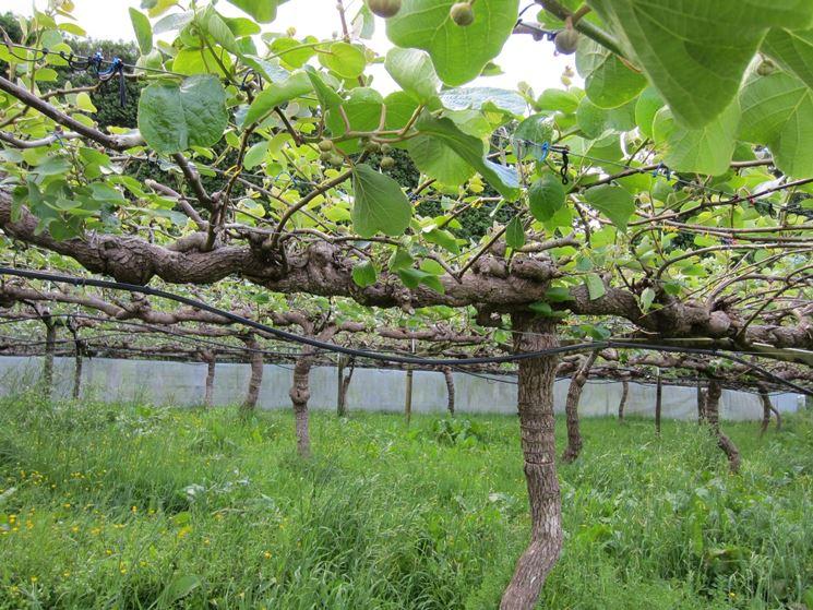 Kiwi coltivazione piante da frutto coltivare kiwi for Kiwi pianta