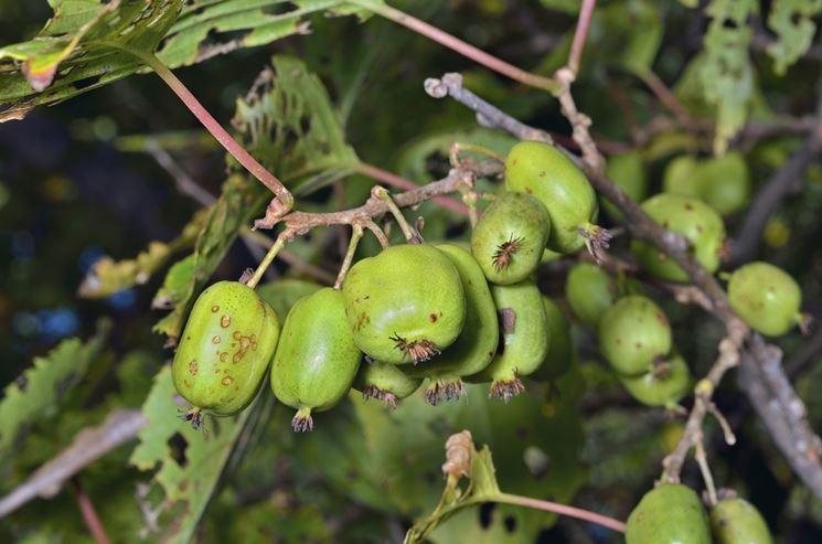 Pianta di kiwi malata