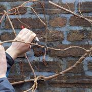 pianta del kiwi