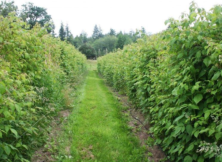 Lamponi piante da frutto coltivare lamponi for Piante da frutto nord italia