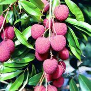 frutto cinese