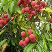 lici frutto