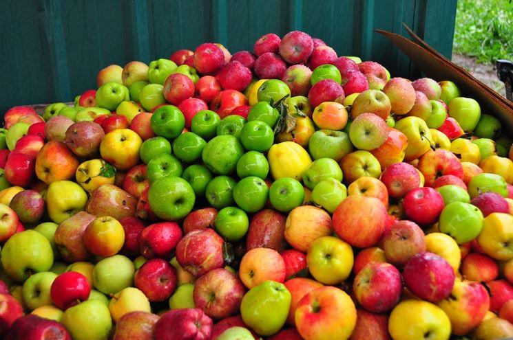 Melo piante da frutto coltivare mele - Mele fuji coltivazione ...