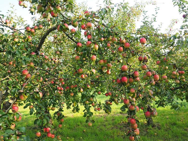 Piante Di Melo : Melo piante da frutto coltivare mele