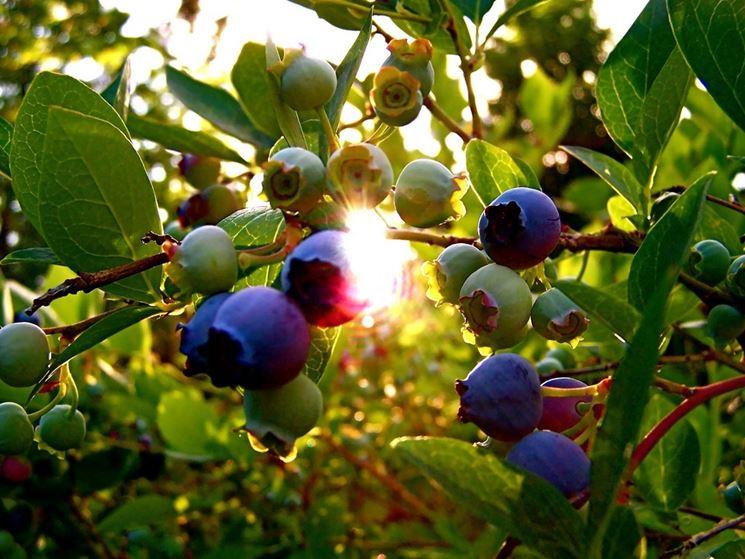 mirtillo piante da frutto caratteristiche del mirtillo