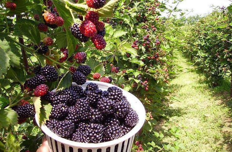 More senza spine piante da frutto coltivare more for Coltivare more in vaso