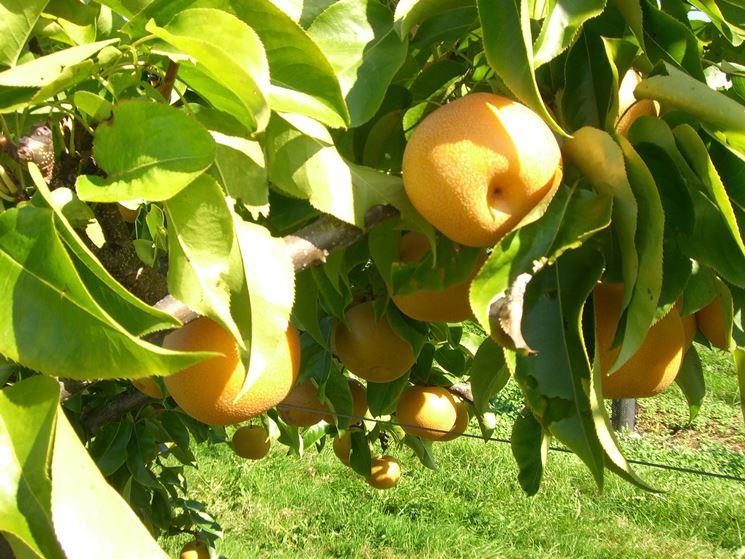 Nashi frutto pianta