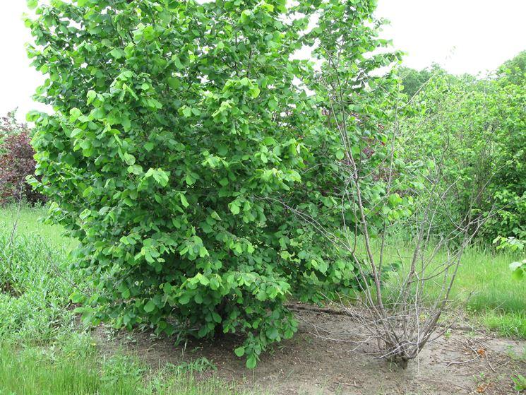 Nocciolo piante da frutto come coltivare il nocciolo for Pianta nocciolo prezzo