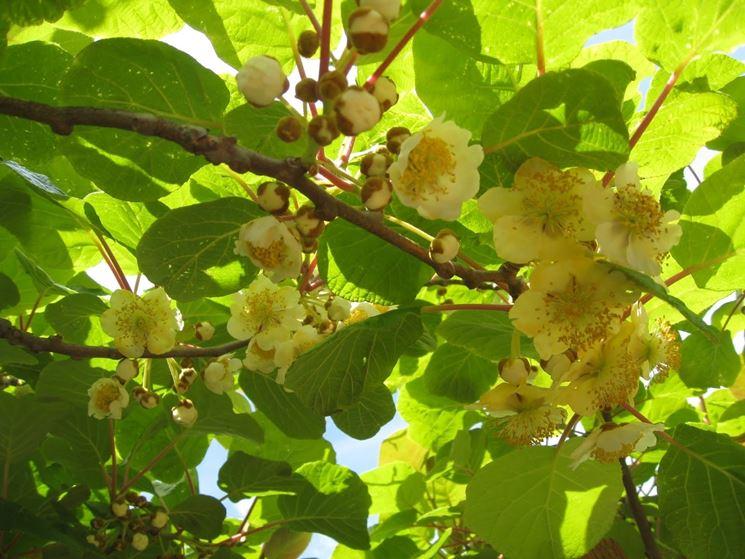 Pianta kiwi piante da frutto coltivare la pianta kiwi for Piante da frutto kiwi