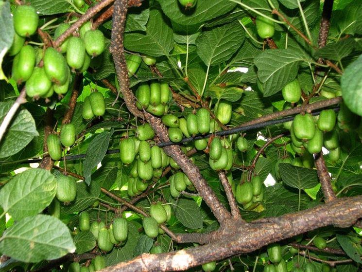 pianta kiwi piante da frutto coltivare la pianta kiwi
