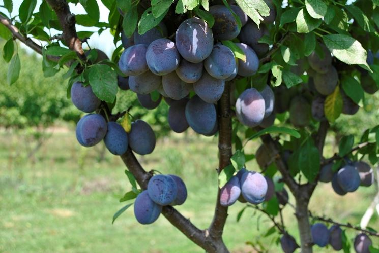 Prugno piante da frutto caratteristiche della prugna for Calcolatore del prezzo della costruzione domestica