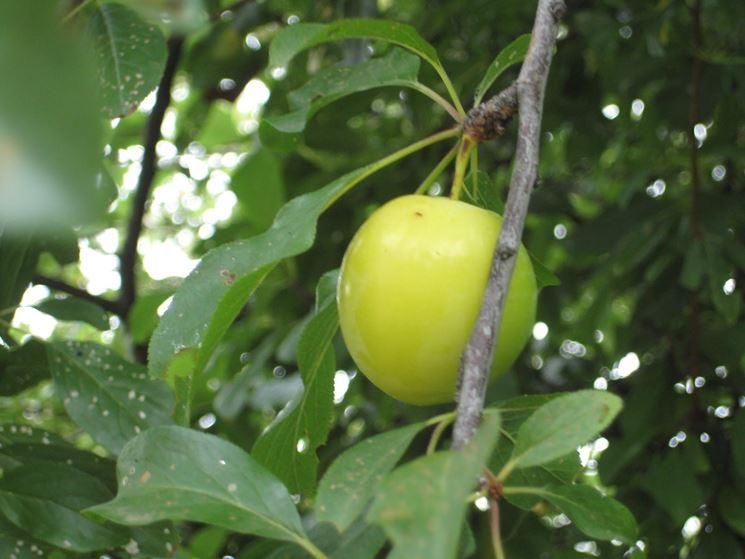 Prugna gialla