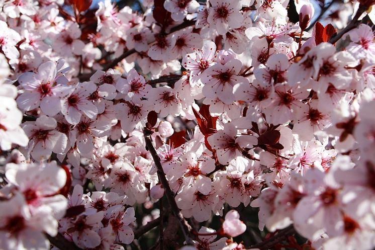 prugno fiore
