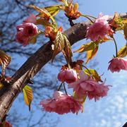 Ramo prunus fiore