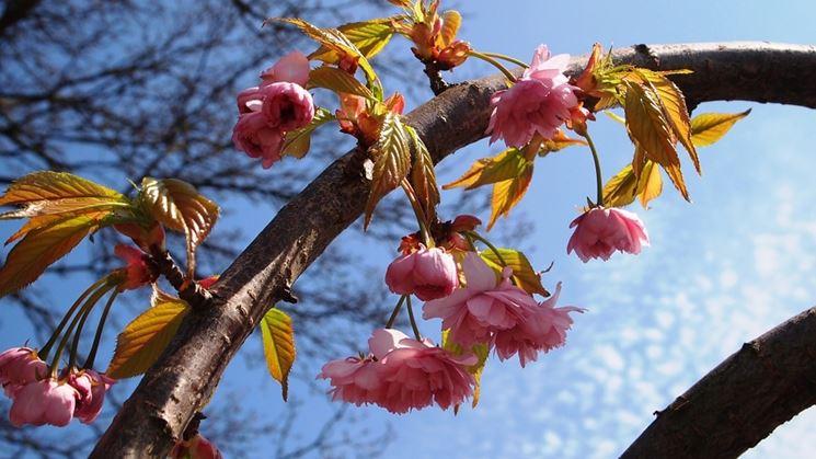 Ramo <em>prunus</em> fiore