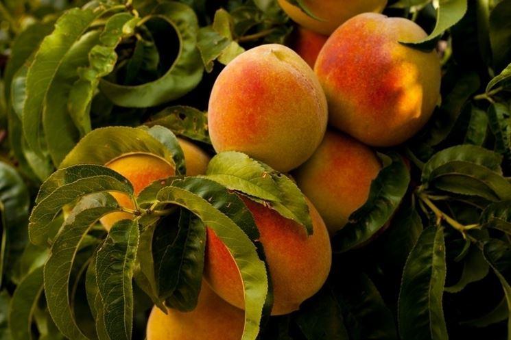 Pesche frutto malattie
