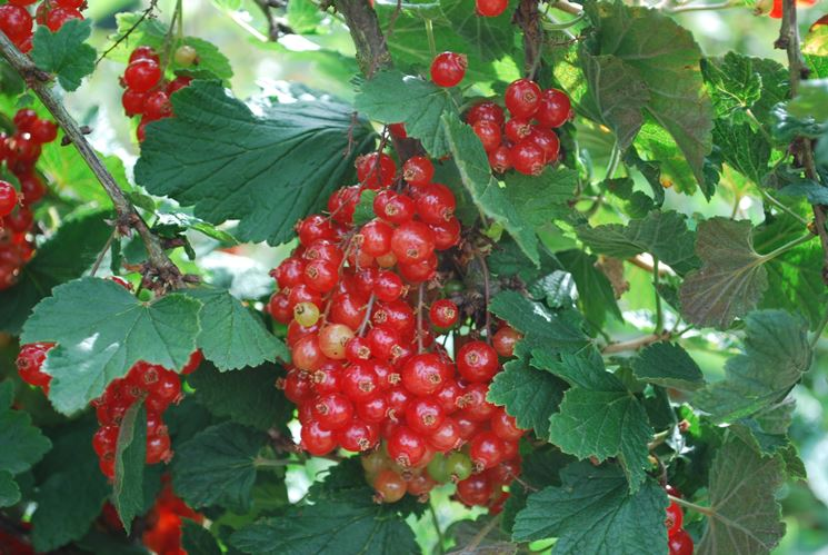 ribes rosso<p />ribes