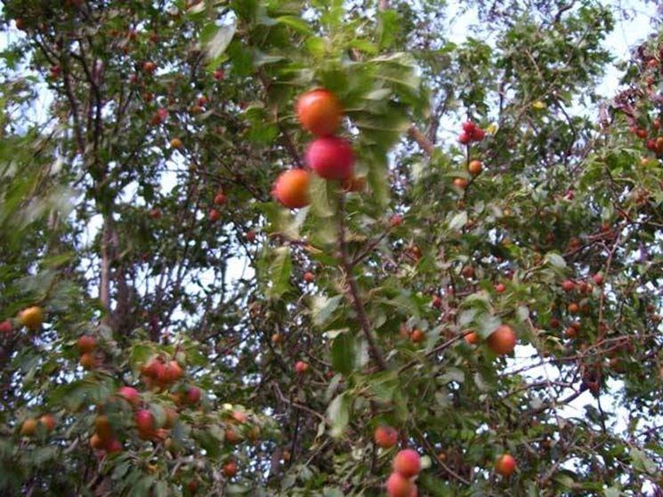 Susino variet piante da frutto for Potatura piante da frutto