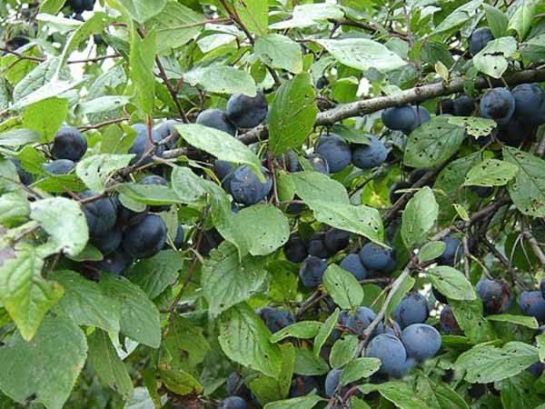 Piante Da Frutto Antiche : Susino varietà piante da frutto