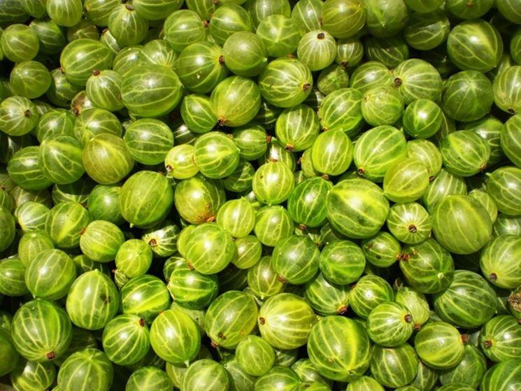 Uva spina verde