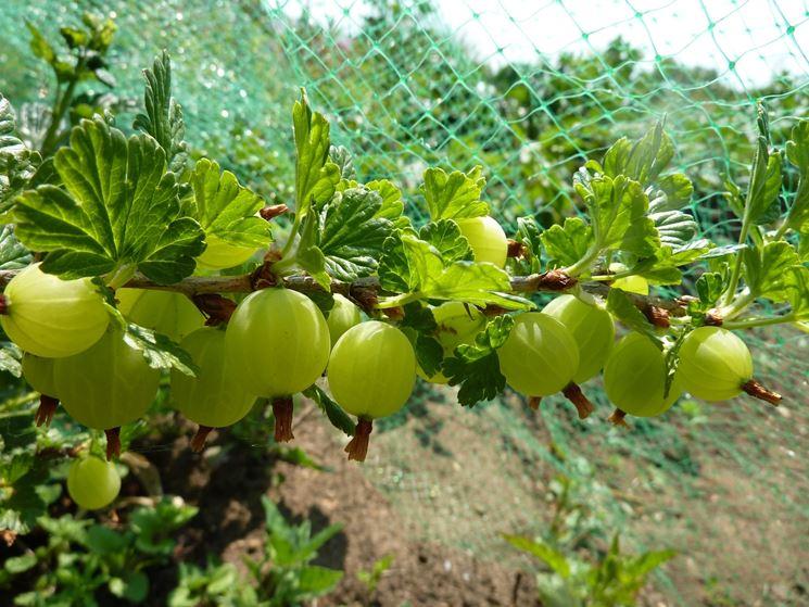 Coltivazione uva spina
