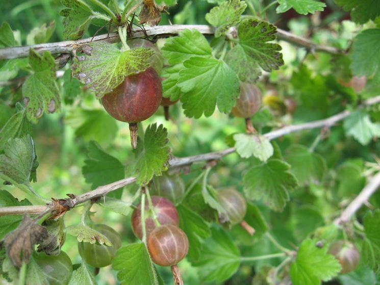 Ricette uva spina