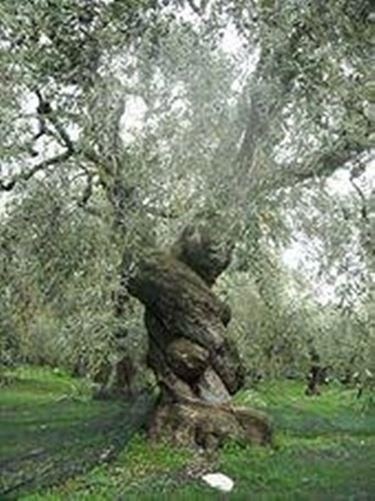 olivo albero 2