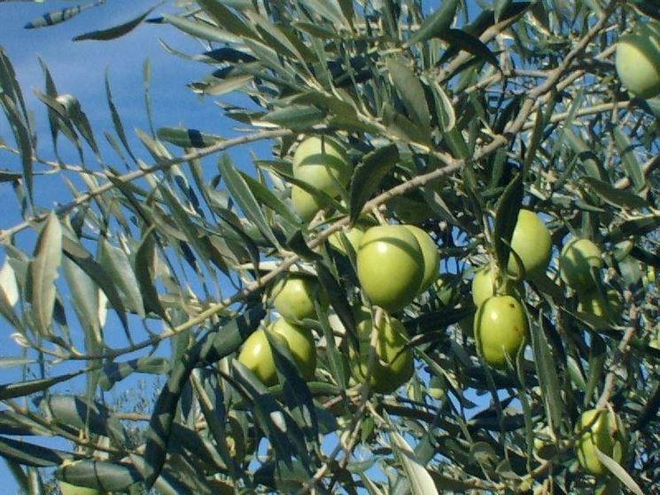 Olivo ascolano