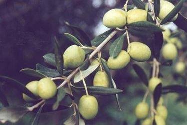 olivo bianchera